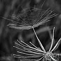 Salsify - Wildflower - Seed by Henry Kowalski