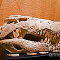 Salt Water Crocodile Skull by Millard H. Sharp