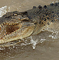 Saltwater Crocodile by Bob Christopher