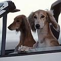 Saluki Dogs In Car by Chris Harvey