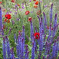 Salvia Sp. And Papaver Sp by Carol Casselden