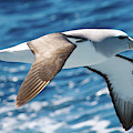 Salvins Albatross by Dave Walsh
