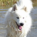 Samoyed Splash