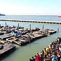 San Francisco Pier 39 Sea Lions 5d26109 by Wingsdomain Art and Photography