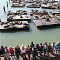 San Francisco Pier 39 Sea Lions 5d26111 by Wingsdomain Art and Photography