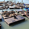 San Francisco Pier 39 Sea Lions 5d26115 by Wingsdomain Art and Photography