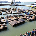 San Francisco Pier 39 Sea Lions 5d26116 by Wingsdomain Art and Photography