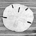Sand Dollar by Christopher Meade