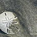 Sand Dollar On Boneyard Beach by Carrie Cranwill
