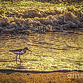 Sand Piper by Marvin Spates