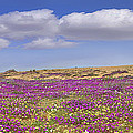 Sand Verbena On The Imperial Sand Dunes by Tim Fitzharris