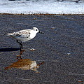 Sanderling 004 by Larry Ward
