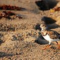 Sanderling 005 by Larry Ward