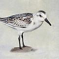 Sanderling by Bill Wakeley