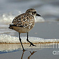 Sanderling Gulf Of Mexico by Bob Christopher