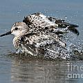 Sanderling Pictures 29 by World Wildlife Photography