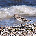 Sanderling Wave Watching by Patti Smith