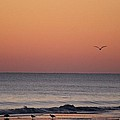 Sanderlings And A Seagull by Robert Banach