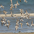 Sanderlings And Dunlins In Flight by Anthony Mercieca