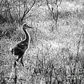 Sandhill Chick In The Marsh - Black And White by Carol Groenen