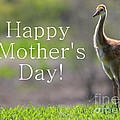 Sandhill Chick Mother's Day Card by Carol Groenen
