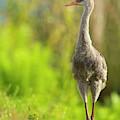Sandhill Crane Chick, Grus Canadensis by Maresa Pryor