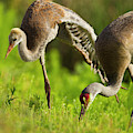 Sandhill Crane Chick Stretching by Maresa Pryor