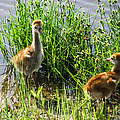 Sandhill Crane Chicks  by Zina Stromberg