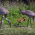 Sandhill Crane Family by Barbara Bowen