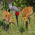 Sandhill Crane Family Feeding by Barbara Bowen