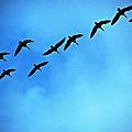 Sandhill Crane Flyover by Eric Tressler