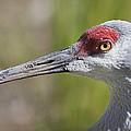 Sandhill Crane Grus Canadensis by Liz Leyden