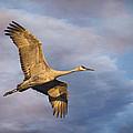 Sandhill Crane In Flight by Priscilla Burgers