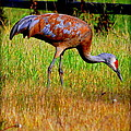 Sandhill Crane by Kathy Sampson