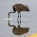 Sandhill Crane On Sparkling Pond by Carol Groenen