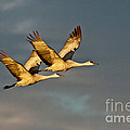 Sandhill Crane Pair by Anthony Mercieca