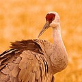 Sandhill Crane Posing by Jeff Swan