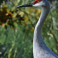 Sandhill Crane Profile by DigiArt Diaries by Vicky B Fuller