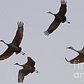 Sandhill Crane Quartet by Bob Christopher