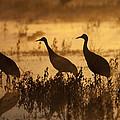 Sandhill Crane Trio At Sunrise Bosque by Tom Vezo