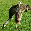 Sandhill Crane With Chick II by Zina Stromberg