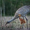 Sandhill Cranes 2 by Allan Lovell