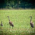 Sandhill Cranes And Friends by Cheryl Baxter