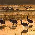 Sandhill Cranes Bosque Del Apache Nwr by Konrad Wothe