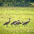 Sandhill Cranes by Cheryl Baxter