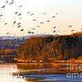 Sandhill Cranes Coming In To Roost by Barbara Bowen