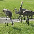 Sandhill Cranes Family by Zina Stromberg