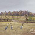 Sandhill Cranes Feeding In Field  by Jymme Golden