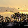 Sandhill Cranes Flying At Sunset by John Shaw