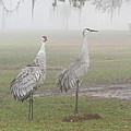 Sandhill Cranes In A Foggy Morning by Zina Stromberg